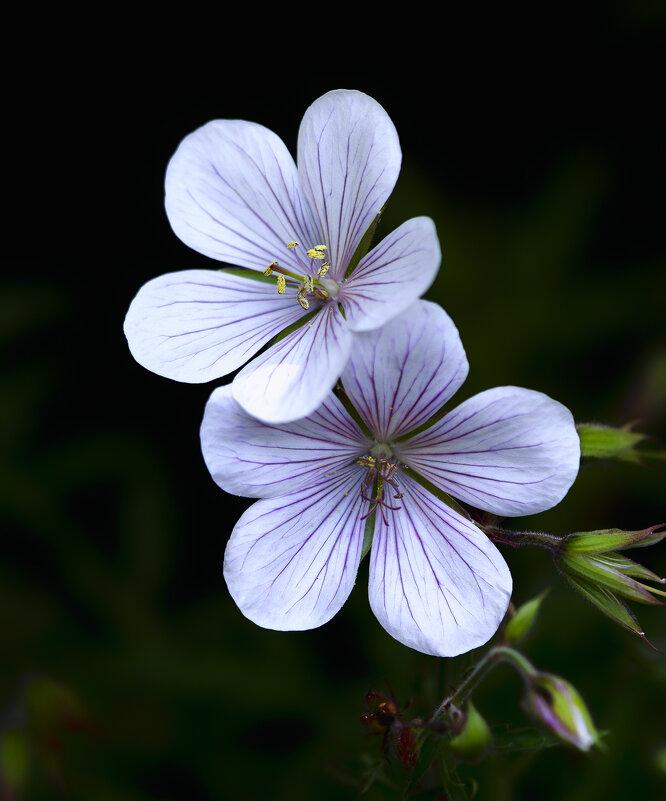 geranium - Zinovi Seniak