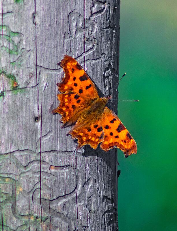 Бабочка - Екатерина Счасная
