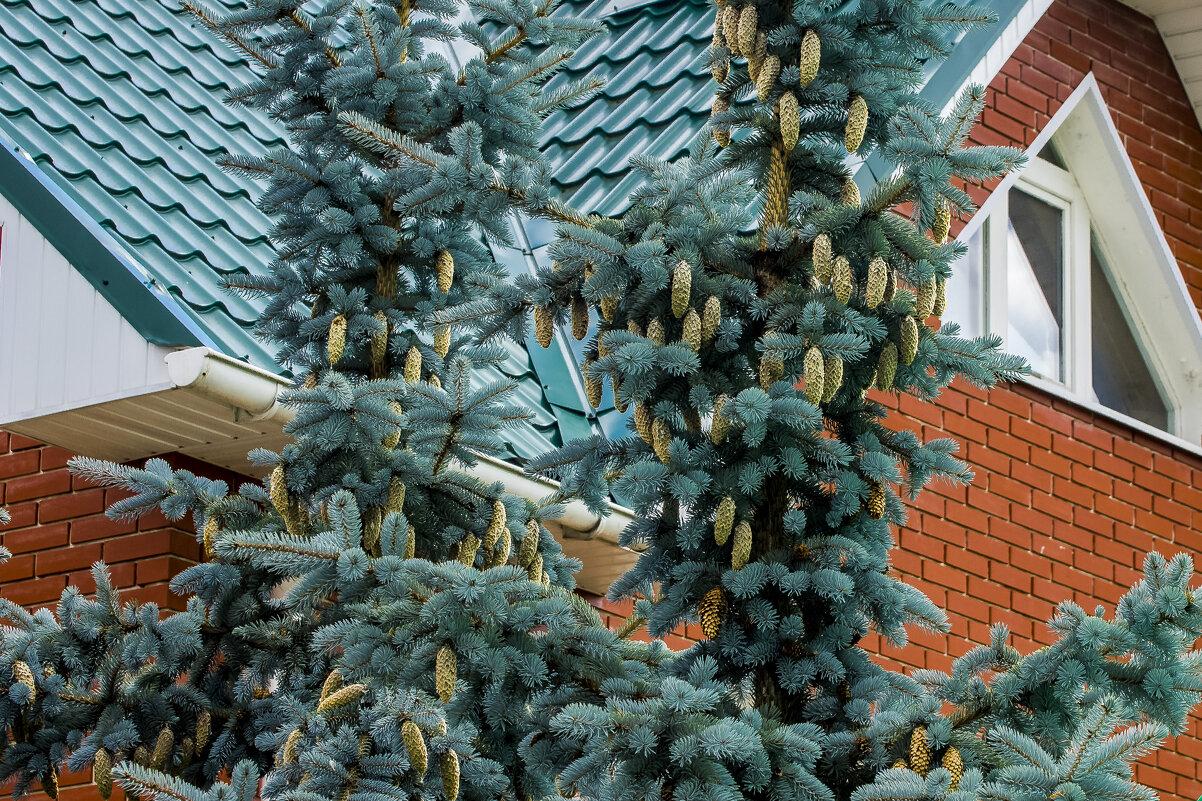 Голубая елка - Петр Беляков