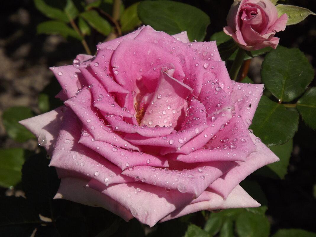 Роза-символ совершенства! - Нина Андронова