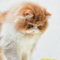 Опять этот рыжий котенок! Да сколько можно?! :: Анатолий Тимофеев