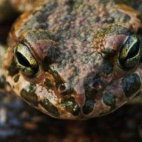Портрет жабы. :: Валерий Дубровин