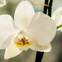 орхидея :: Seda Yegiazaryan