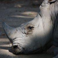 мухи   завалили носорога :: piter rub