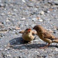Птенец с мамой :: Александр Канышев