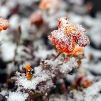 Снежноцветочное... :: Елена Васильева
