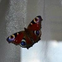 Бабочка :: Юлия Каленюк
