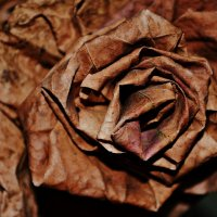 роза :: Arina Salyamova
