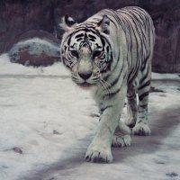 tiger :: Arina Kekshoeva