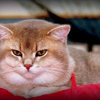 На выставке кошек :: Владимир Сарычев
