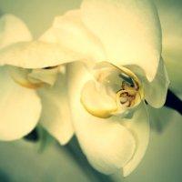 орхидея :: Янина Пименова