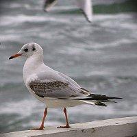 чайка :: Александр Корчемный