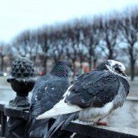 Городские голуби :: wert wert