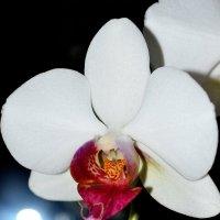 орхидея :: Аленушка Бурлакова