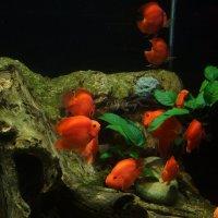 Рыбки :: Алёна ChevyCherry