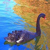 Чёрный лебедь в парке Бухареста :: Владимир Сарычев
