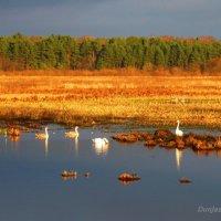 Лебеди. :: Антонина Гугаева