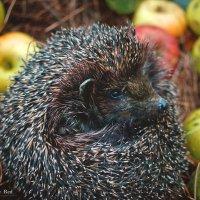 The Hedgehog :: Diana Mega
