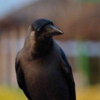 Индийская ворона :: Александр Мозговой