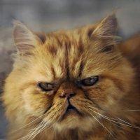 экстрим Леопольд или просто Лео-из серии Кошки очарование мое! :: Shmual Hava Retro