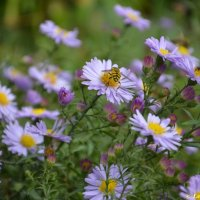 Пчела на цветке :: Елена Савич