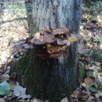 А на дереве грибы! :: Ольга Кривых