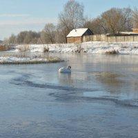 Лебедь :: N. Efimkina