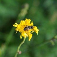 Пчела :: Stanis Yackovleff