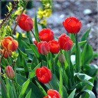 Тюльпаны(2) :: Валерий Викторович РОГАНОВ-АРЫССКИЙ