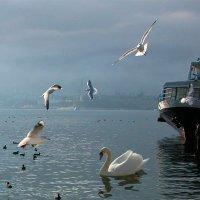 Лебеди в Севастополе :: Игорь Юрьев