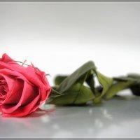 Роза :: Дмитрий Motorin