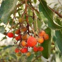 Плоды земляничного дерева :: Алла Шапошникова