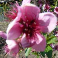 Персик цветёт :: Владимир