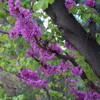 Крепость ствола и нежность цветов... :: ФотоЛюбка *