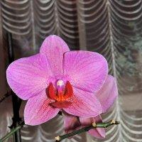 орхидея :: Ирина Шевструк