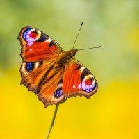 Бабочка :: Nn semonov_nn
