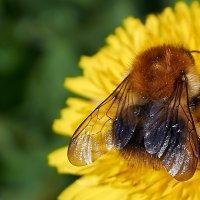 Пчела :: Антон Банков
