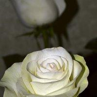 роза :: Светлана Скирта