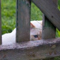 Кот за калиткой :: Ольга Орлова