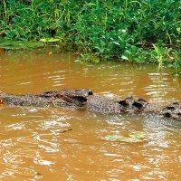 Австралийский крокодил. Дарвин :: Вячеслав Мишин