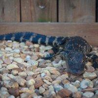 По камушкам ходила малютка-крокодила :: Павел Белоус