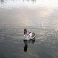 Лебедь на пруду :: Елена Плаксина