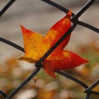 Осенний лист :: Николай Сапегин