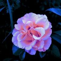 сказочный цветок :: валерия
