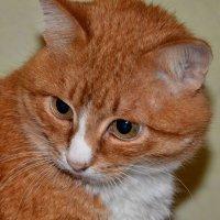 Боевой кот... :: Anatolyi Usynin