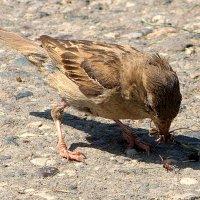 Воробей, воробей пташечка.....)) :: ФотоЛюбка *