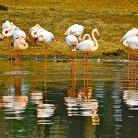 фламинго :: Юрий Кацев
