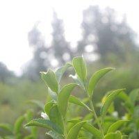 Чай :: tanana tiger