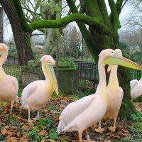 пеликаны :: Лидия Юсупова