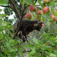 Кот в яблоках :: Владимир Гилясев